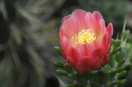 Cactus-Bloom