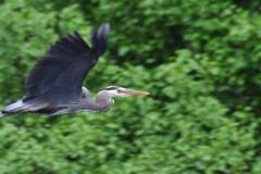 Herron-in-Flight