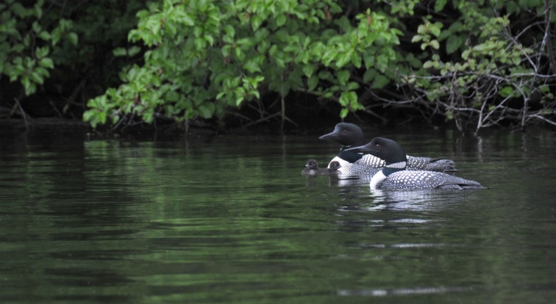 Two-Loons-Two-Babies