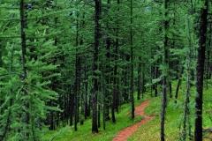 Tamarack-ForestCathedral