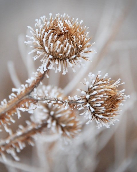 Frosty-Thistle