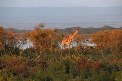 Giraffe-on-Shoreline