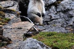 Marmott