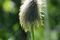 Anemone-Occidentails