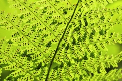 Fern-with-Dark-Spores