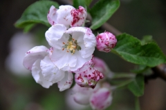 Wild-Apple-Blossum