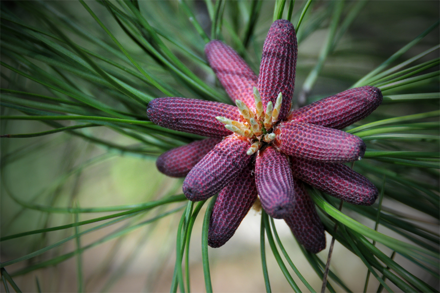 Pine Tree Budding Cones