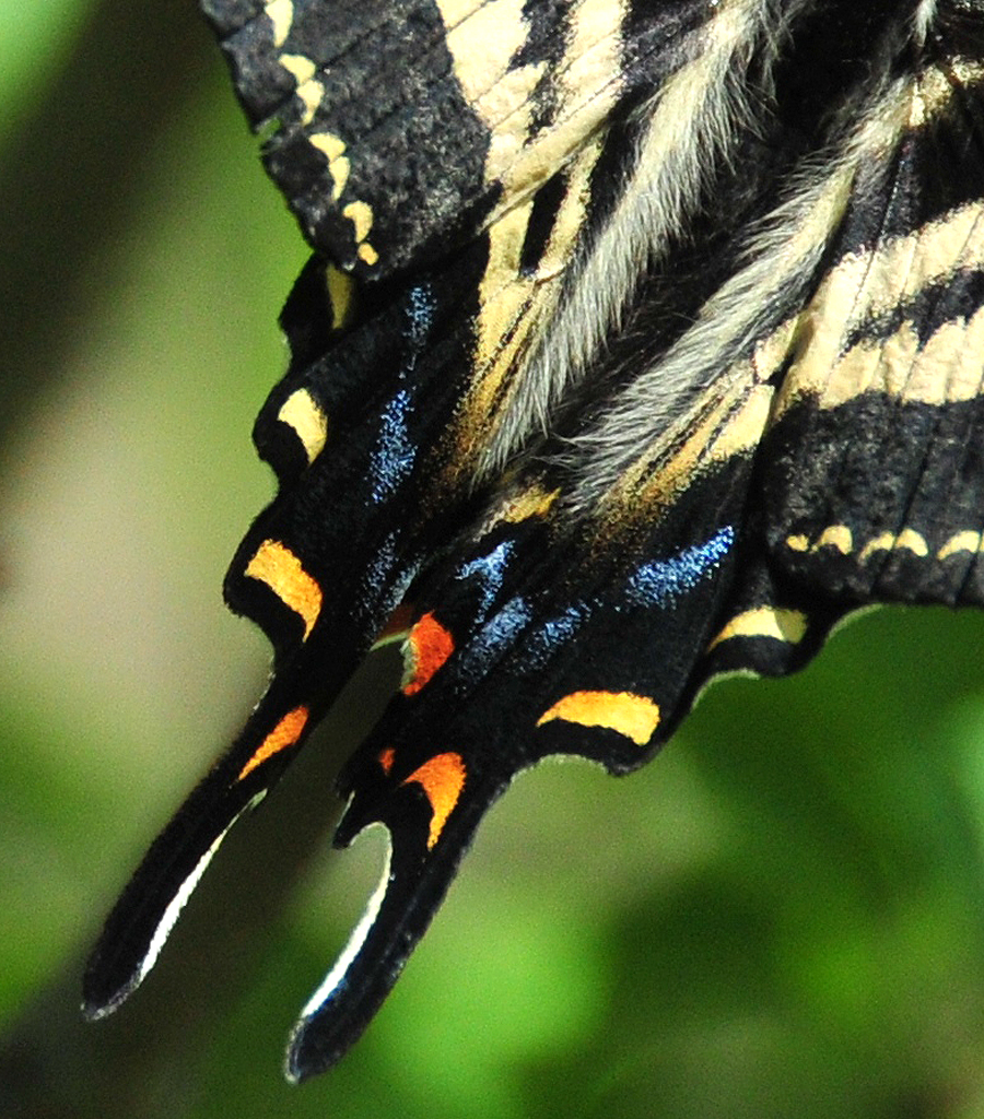 Swallowtail Butterfly Tail