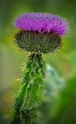 Thistle Bloom Full.jpg