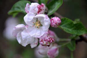 Wild Apple Blossum.jpg