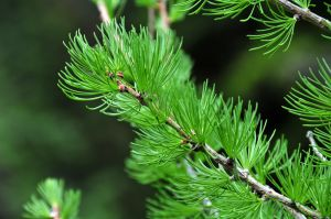 Larch Needles.jpg