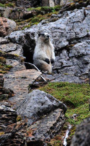 Marmott.jpg