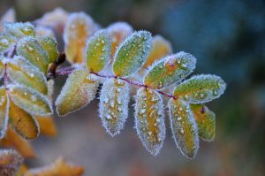 Frosty Mountain Ash.jpg
