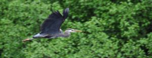 Herron in Flight.jpg