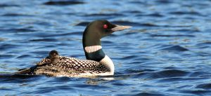 Loon with Baby on Back.jpg