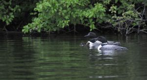 Two Loons Two Babies.jpg