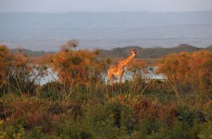 Giraffe on Shoreline.jpg