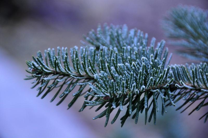Fir-in-Frost