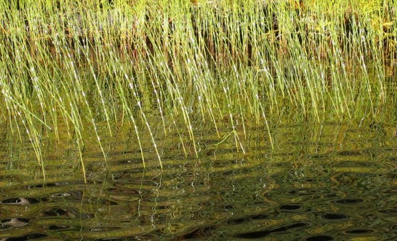 Green-Reeds