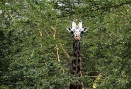 Giraffe-in-Acacia