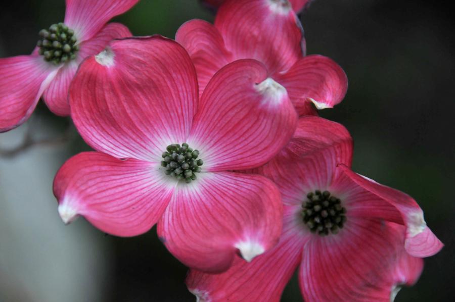 Blossom Festival